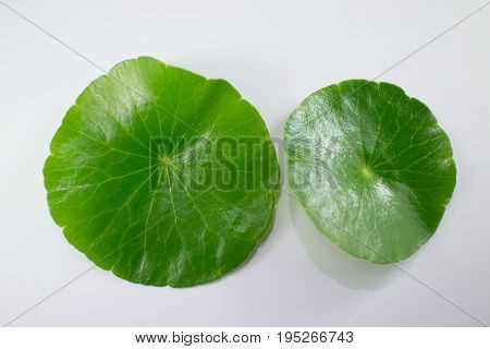 Close Up Of Gotu Kola Tree Isolated