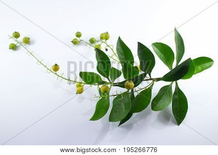 Small Seed Of  Duranta Repens Flower Isolated