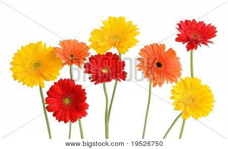 daisies - orange, yellow, red - isolated on white