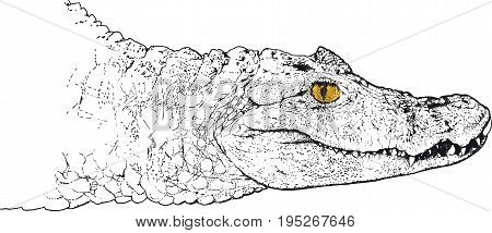 Sketch Head of a crocodile with a yellow eye looking at the viewer