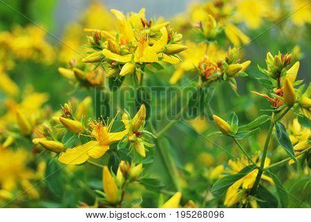 Yellow St. John's wort, medicinal herb in macro