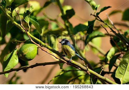 Small blue tit bird perched on lemon tree