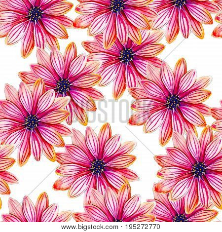 Osteospermum flower watercolor seamless pattern. Bright tropical flowers isolated on white background hand-drawn design for background textile wrap and etc.