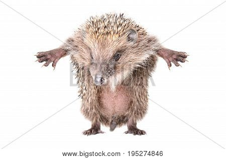 Funny hedgehog, standing on hind legs, isolated on white background