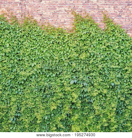 Green creeper plant covering red brick wall