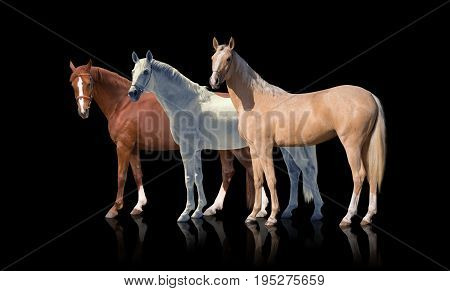 White, red and palomino horses stay isolated of the black background