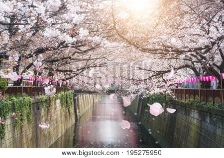Cherry blossom lined Meguro Canal in Tokyo Japan. Springtime in April in Tokyo Japan.