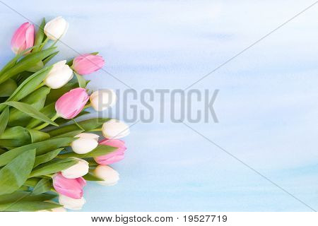 pink and white tulips on painted blue background for spring