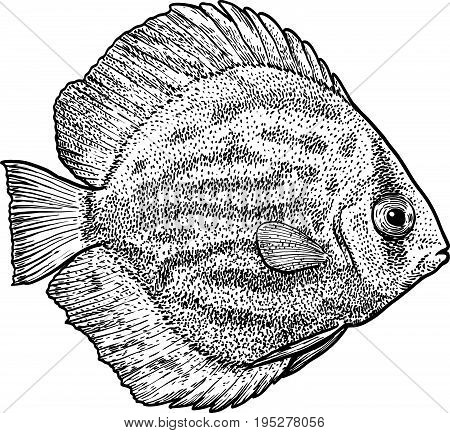 Discus fish illustration, drawing, engraving, ink, line art