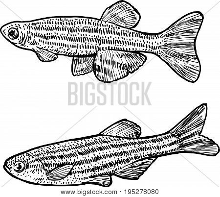 Zebrafish illustration, drawing, engraving, ink, line art