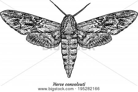 Convolvulus hawkmoth illustration, drawing, engraving, ink, line art