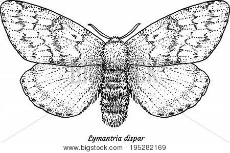 Gypsy moth illustration, drawing, engraving, ink, line art