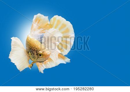 Capture the moving moment of yellow white siamese fighting fish on blue background. Dumbo betta fish