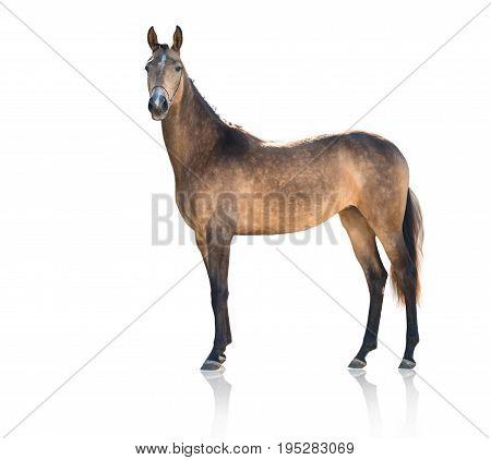 Exterior of  buckskins horse  isolated on white background
