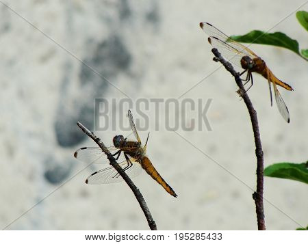 Summertime. Time to fly! Dragonfly sitting on stick, close up on the background of the gray wall.