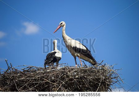 Storks in the nest, storks in the nest, making each other and showing love.