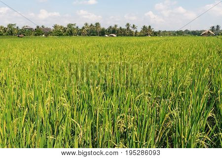 Large Green Field Of Sticky Rice Growing.