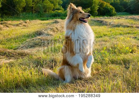Collie dog sitting and training on green field at sunlight