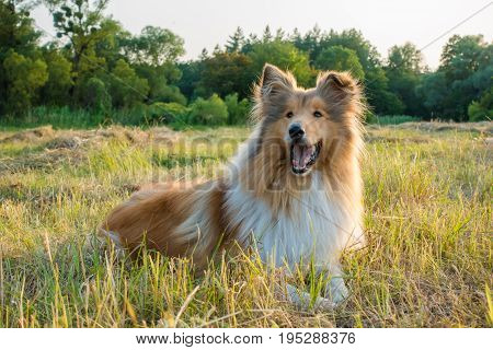 Collie dog lying down and looking on green field at sunlight