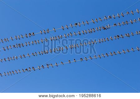 Flock swallow sitting on wires against blue sky, diagonal composition