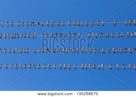 Flock swallow sitting on wires against blue sky