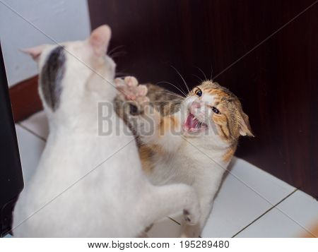 Fighting Cat with Fang Shown . .