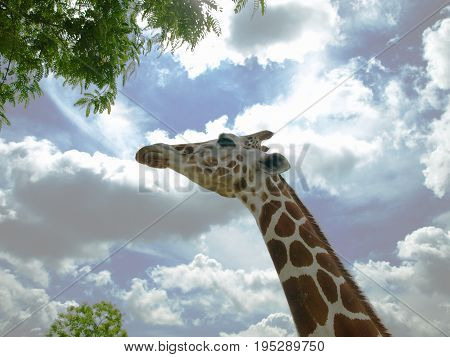 Giraffe looking up and stretching his neck