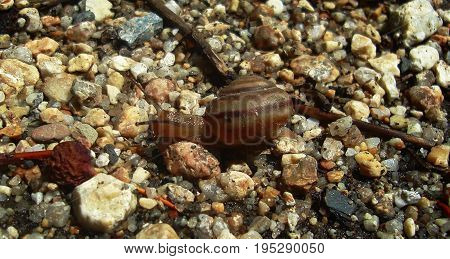 Snail. Snail on a background of stones. Snail. Nature background. Gray background. Snail after the rain.