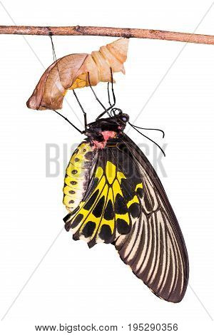 Golden Birdwing (troides Aeacus) Butterfly