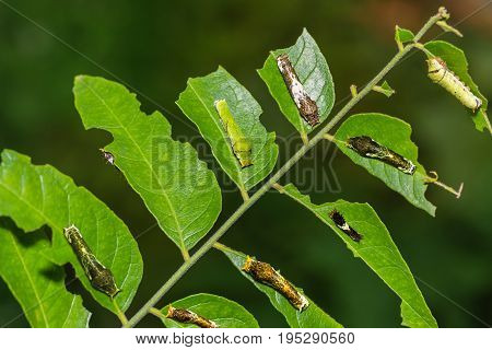 Lime Butterfly And Common Mormon Caterpillars