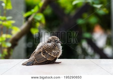 Young Zebra Dove (geopelia Striata)