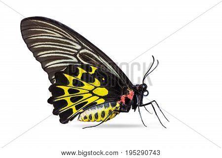 Golden Birdwing (troides Aeacus) Butterfly