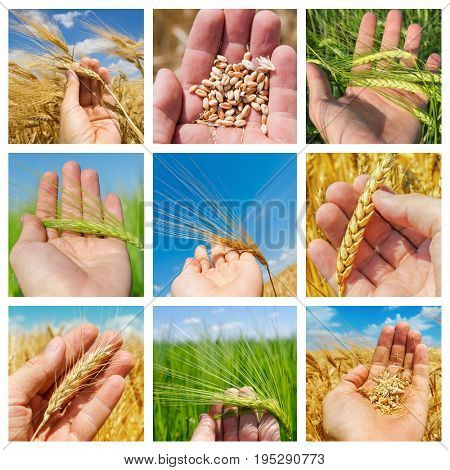 set of pictures crops in hand over field