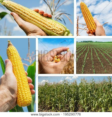 set of pictures with maize in the fields and in hand