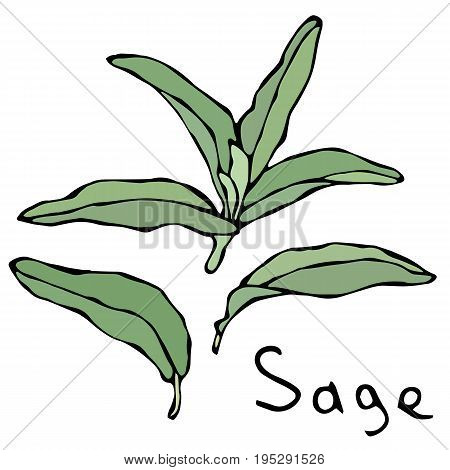 Set of Green Sage Herb Branch and Leaves . Vector Illustration Isolated On a White Background. Realistic Hand Drawn Doodle Style Sketch.