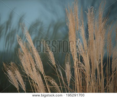 Tall brown prairie grass reflections in glass