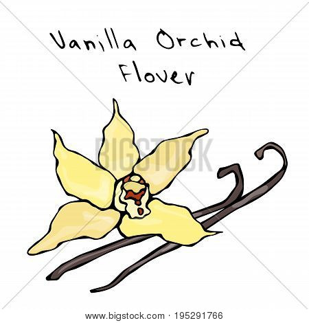 Vanilla Pods or Sticks and Vanilla Orchid Flower. Realistic Hand Drawn Doodle Style Sketch. Vector Illustration Isolated On a White Background.
