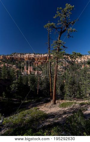 Pine tree in the Bryce Canyon National Park, USA