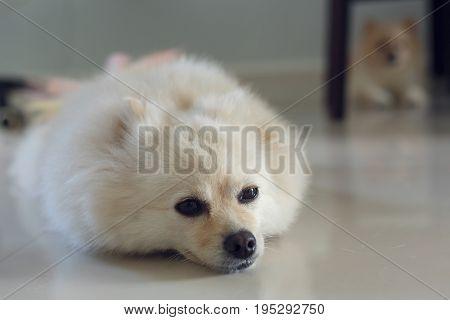White Pomeranian Cute Dog