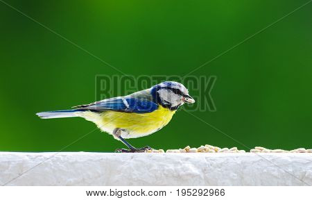 Eurasian blue tit eating sunflower seeds on balcony