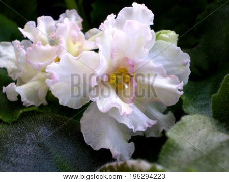 Photography Of White Saintpaulia Flower With Green Leafs