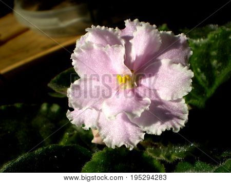 Photography Of Pink Saintpaulia Flower With Green Leafs