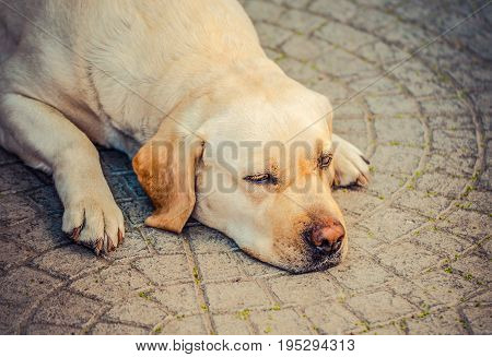 Dog on the floor, yellow labrador, thoughtful and dreaming. Dog sadness, focus on eyes. A tired yellow labrador patiently waits.