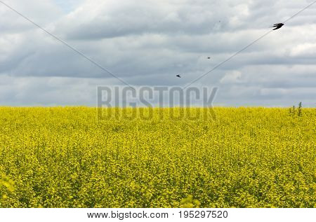 swallows birds Swifts fly over a field of yellow rapeseed flowers under sky with clouds