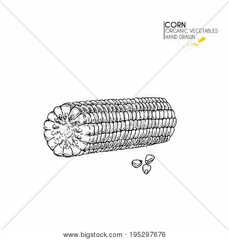 Vector hand drawn set of farm vegetables. Isolated corn cob. Engraved art. Organic sketched vegetarian objects. Use for restaurant, menu, grocery, market, store, party, meal