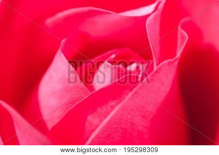 Beautiful Flower Gently Red Rose Grow In Garden Close Up. Background And Texture. Gently Blurred Background.