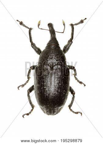 True Weevil Larinus on white Background - Larinus (Phyllonomeus) sturnus (Schaller 1783)