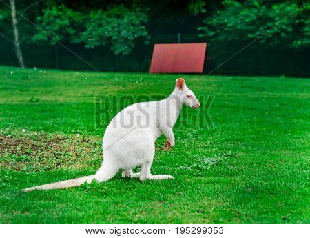 Beautiful Kangaroo On The Farm In Alsace