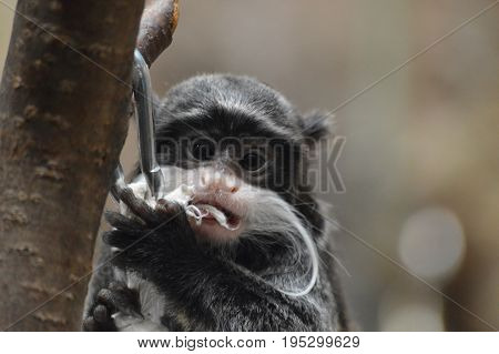 Close up of an Emperor Tamarin on a branch
