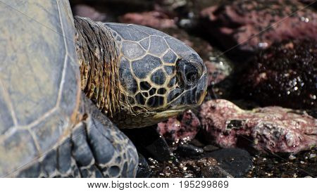 View of Close up of sea turtles resting on a rocky sand beach in Maui Hawaii